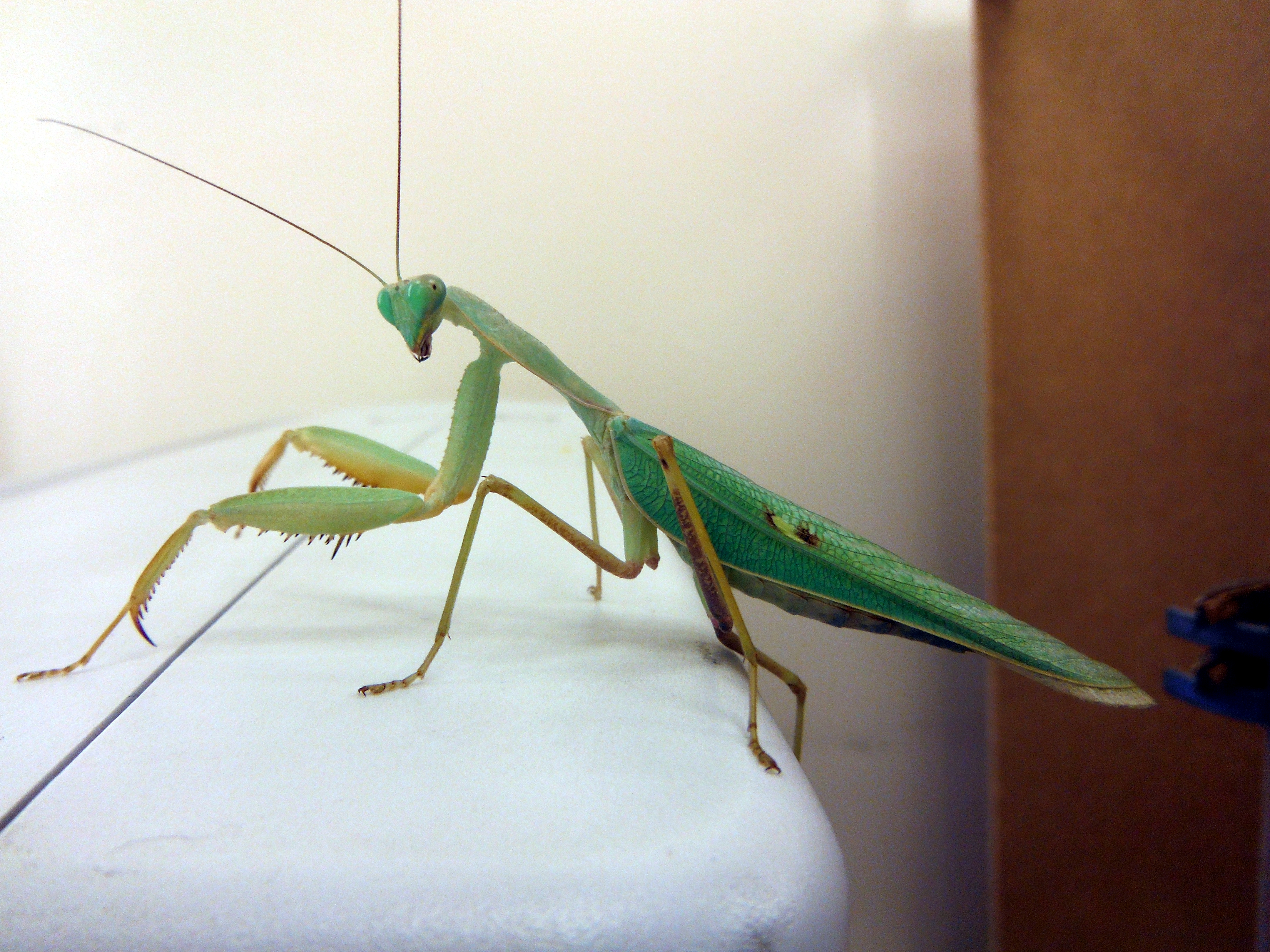 Fantastic close-up of a mantis that has jumped onto the CRT!
