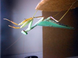 Mantid striking at image on computer screen