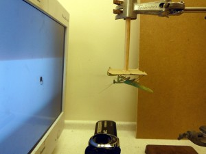 Mantis watching simulated bug on the CRT