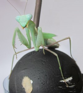 Mantis on ball